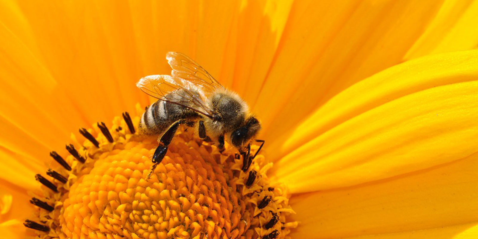 Honey bee numbers are declining – how we can help