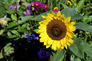 Sunflower - Sunshine sees sales in seeds and bulbs improve