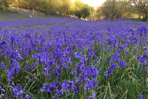Bluebell display