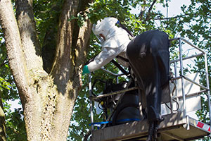 Biosecurity: Oak Processionary Moth Removal: credit Ronald Wilfred Jansen / Shutterstock.com