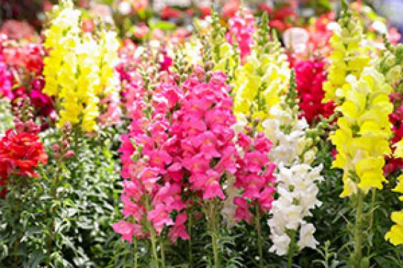 RHS careers resource - lupin plants in bloom
