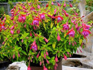 Fuchsia Thumbelina Gem by Wyevale Nurseries